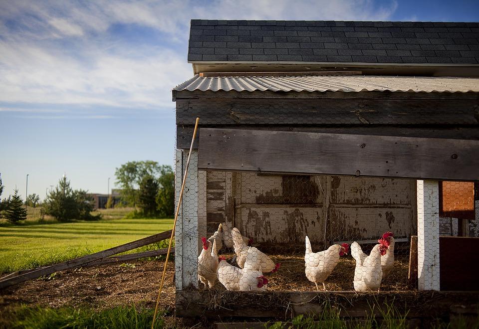 Lever des poules en ville comment s 39 y prendre - Poules en ville reglementation ...